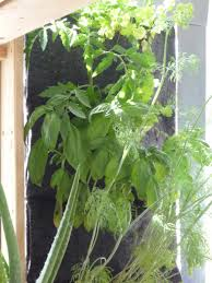 herb wall herb wall smells and tastes good cultivate