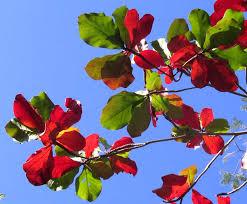 tropical almond tree terminalia catappa