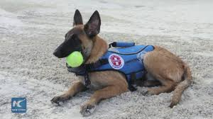 belgian sheepdog animal planet belgian shepherd trained in mexico for water rescue job youtube