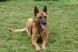 belgian shepherd dog malinois belgian shepherd dog malinois dog kennel debrabandere
