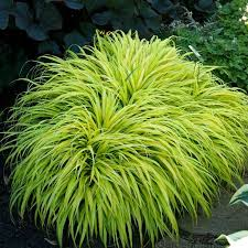 hakonechloa all gold hakone ornamental grass shade perennial