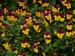 native plants to texas time to plant pansies east texas gardening
