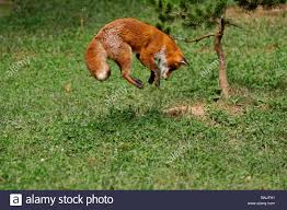 fox vulpes vulpes animal animals outdoor nature grass meadow