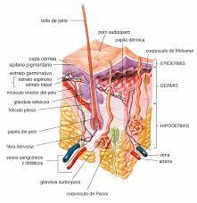 significado de imagenes sensoriales wikipedia corpúsculos de pacini wikipedia la enciclopedia libre