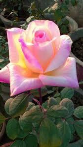 3141 best beautiful rose flower images on pinterest beautiful