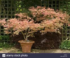 japanese maple acer palmatum beni schichihenge in terracotta