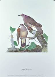 white tipped dove andrew jackson grayson bird print 1986 birds of
