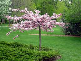 best 25 fastest growing trees ideas on privacy bushes