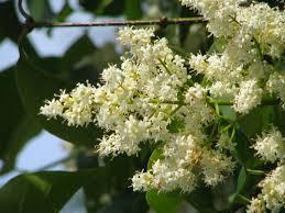 lilac japanese tree ivory silk thetreefarm