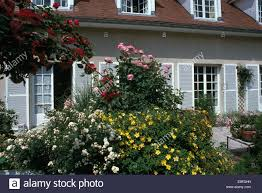 French Country House White And Pink Roses And Yellow Hypericum Growing Beside Patio In