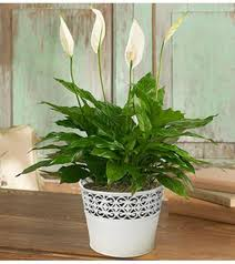 peace plant peaceful peace plant pasadena tx florist
