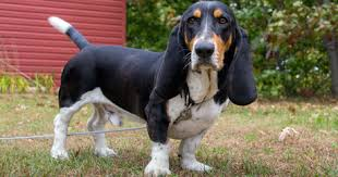 bluetick coonhound and bloodhound mix the 10 dog breeds with the best sense of smell dogtime
