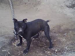 american pitbull terrier jeep bloodline my best males pitbulls go pitbull dog forums