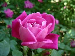 roses china rosa chinensis