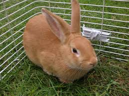 10 best meat rabbit breeds for homesteads the self sufficient living