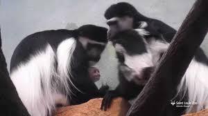 baby black and white colobus monkeys at saint louis zoo youtube