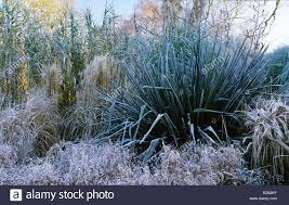 rhs wisley surrey on border in winter phormium tenax