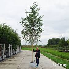 best 25 betula pendula ideas on white bark trees