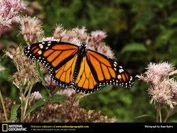 monarch butterfly picture monarch butterfly desktop wallpaper