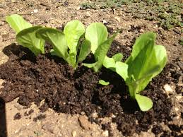 top dressing plants with worm compost