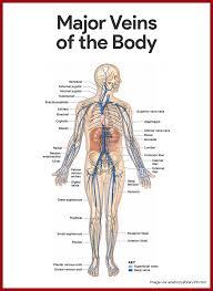 cardiovascular system anatomy and physiology anatomy phlebotomy