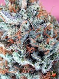 the white marijuana strain reviews allbud