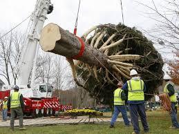 rockefeller christmas tree cut from pa farm