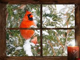 a male northern cardinal in the snow peeks happily into a tiny