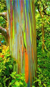 Eucalyptus Trees Best 25 Rainbow Eucalyptus Tree Ideas On Pinterest Eucalyptus