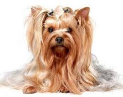 male yorkie haircuts yorkie haircuts 100 yorkshire terrier hairstyles pictures