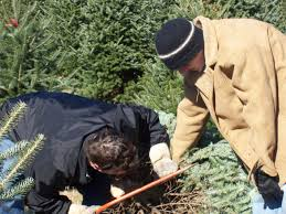 file christmas tree farm customers cut n choose1 jpg wikimedia