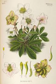 a modern herbal hellebore black