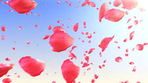 flower petals flower petals isolated stock footage