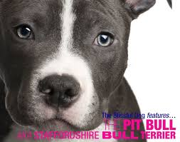 american pitbull terrier in uk 59 best pit bull aka staffordshire bull terrier images on