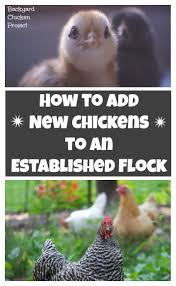 introducing new chickens to the flock step by step step guide