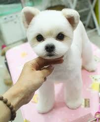 different styles of hair cuts for poodles facts about teddy bear dogs dog maltese and animal