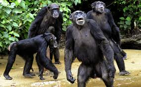 could chimpanzees have religion