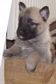 belgian malinois puppies for sale 2016 sweet looking belgian malinois puppies for sale dogs u0026 puppies