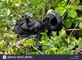 Free Baby Canopy by Mantled Howler Monkey Family With Baby In The Forest Canopy In