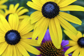the differences in a black eyed susan u0026 a sunflower hunker