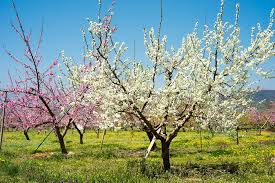 when do apple trees bloom seeing visible growth on your apples