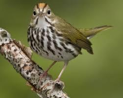 Canopy Birds by Ovenbird Audubon Field Guide