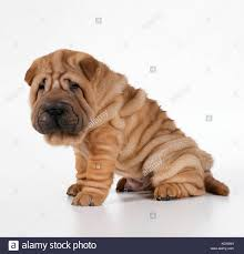 shar pei dog and puppy stock photos u0026 shar pei dog and puppy stock
