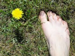 Dandelion Facts Dandelion Flower Health Benefits Real Food For Life