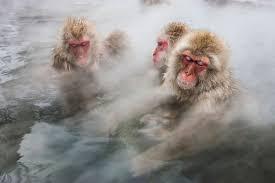 nice shot snow monkeys take a bath