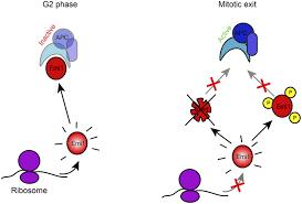 Regulation Mrna Translation During Mitosis Elife