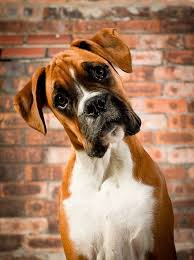 boxer dog quebec 435 best all about boxers images on pinterest boxer love boxer
