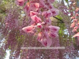 aliexpress buy 20pcs magic pink wisteria bonsai