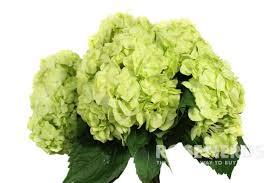 wholesale hydrangeas wholesale mojito green hydrangea bulk mojito green hydrangea