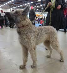 belgian shepherd laekenois rescue belgian laekenois all big dog breeds